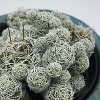 Thimble Cactus Mammillaria gracilis fragilis cactus cacti succulent plant
