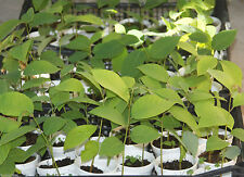 2 CHERIMOYA Annona cherimola Extra Large Fruits Live Seedling Rooted Plants
