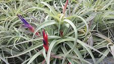 Bromeliad Tillandsia harrisii large in or near Spike Tropical Air Plant