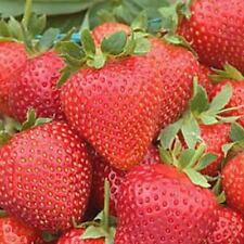 50 Fresh picked for 2018 Everbearing strawberry plants Inspected