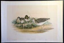 John GOULD and Richter lithograph print birds: TOTANUS GLAREOLA (Wood Sandpiper)