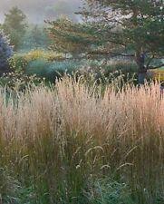 Calamagrostis acutiflora  'Karl Foerster' 5 stuks