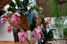 100PCs Medinilla Magnifica Flower Seeds Showy Rose Grape Philippine Orchid Home