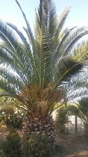 palm trees for sale canary palm trees