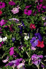 Petunia multiflora Corona Mix F2 - Aprox 1800 Semillas - Anuales &