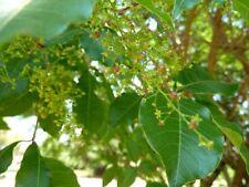 Rhus chirindensis ( 5 seeds/graines )