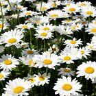 50 Ox Eye Daisy Seeds