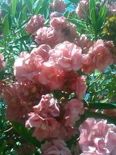 NERIUM - OLEANDER - double pink flowers 100 Seeds
