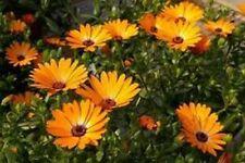 African Daisy (Dimorphotheca Aurantiaca)- Orange- 100 seeds