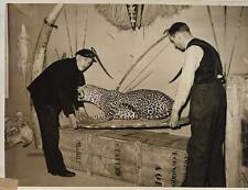 PHOTO de PRESSE N.Y.T. Paris ORIGINALE + 1938 + LEOPARD empaillé + EXPO A.O.F.