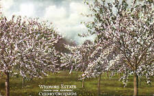 Chatham. Wigmore Estate Cherry Orchards, Hoath Lane.