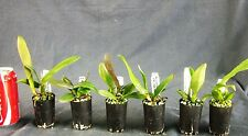 RON. Special Bulk Orchid deal. 6 x Quality Cattleya Hybrids in tubes (9624)