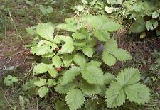 GSH Walderdbeere Waldfee unzählige zuckersüße Früchte