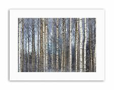 BIRCH FOREST TREES SILVER PHOTO Poster Picture Canvas art Prints