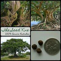 10+ KAPOK TREE SEEDS (Ceiba pentandra) Amazon Tropical Indoor Bonsai Medicinal