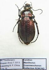 Carabus carabus manifestus guanmenshanus (female A1) from CHINA
