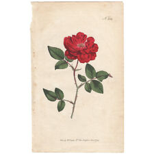 Curtis antique 1st ed 1794 hand-colored engraving, Pl 284 Ever-Blowing Rose