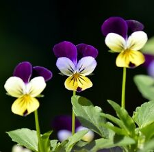 HEARTSEASE Viola tricolour edible flowers plant in 100mm pot