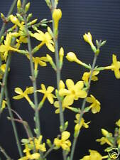 Winterjasmin Jasminum nudiflorum 40-60cm Winterblüher