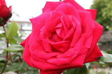 Standard Rose Tree Bush Variety 'Ruby Wedding' 1.2M tall