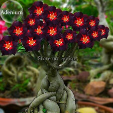 HOT!!! Rare Brown Black Adenium Desert Rose with Fire Red Heart Flower, 4 Seeds