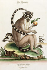 Framed Print - Vintage Medieval Picture of a Lemur (Monkey Primate Animal Art)