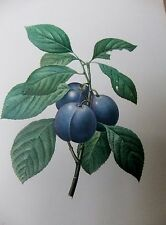 LITH0GRAPH [ 1] FRUITS & FLOWERS BY P.J.REDOU  1955 GARDEN ;PLUM