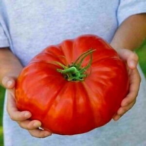 15 Graines - Tomate Supersteak - Une tomate géante - Bio