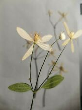 4x Pressed Dried Clematis White flowers Epoxy Resin Jewellery Card Making, Rus