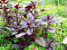 AMARANT Amaranthus hypochondriacus blutrot, rote Blätter im Salat, Inka, Korn