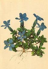 ALPENFLORA ALPINE FLOWERS: Gentiana brachyphylla Vill-Kurzblättriger Enzian;1897
