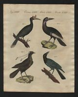 1800 - Vögel birds Paradiesvogel Nashornvogel Bertuch Kupferstich antique print