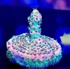 Aj's Candy Shop Acropora * Wysiwyg * Live Coral Frag * Aj's Aquariums