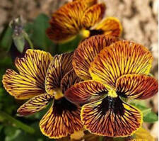 20+  VIOLA TIGER EYE RED FLOWER SEEDS, PANSY, PERENNIAL, RARE, NEWLY BRED, 2018