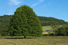 Linden tree  Tilia platyphyllos  *** Lime Tree Finest 5-Seeds. UK Seller.