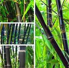 Schwarzer Bambus - Phyllostachys Nigra - Black Bamboo Samen Seeds - Riesenbambus