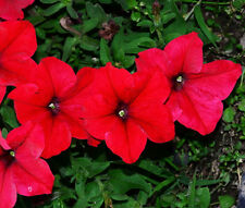 60 Red Petunia Seeds Petunia Hybrida Morning Glory Garden Flowers