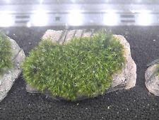 Phönixmoos fissidens fontanus Aquariummoos Garnelenmoos auf Lava Größe L