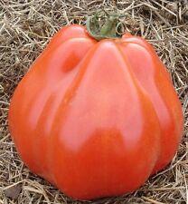 30 Graines/Seeds Tomate Ancienne Rare - Variété : Coeur de Boeuf Liguria - BIO