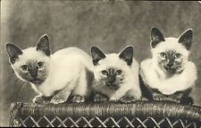 Siamese Kittens Cats Real Photo Postcard