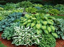 Mixed Hosta Collection x 4 Bare Root Perennial Plants Named Varieties