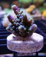 Live Coral Robbie's Corals Rainbow Acropora Frag SPS
