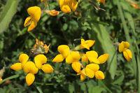 Gewöhnlicher Hornklee - 1000 Samen - Lotus Corniculatus