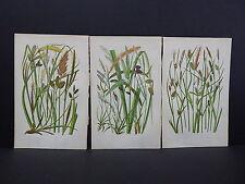 Anne Pratt Botanical, c.1899, Original Color, 3 Prints! English S2#68