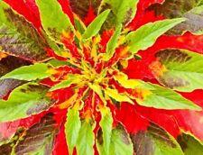 AUFFÄLLIG: 250 Samen Papageienkraut (Amaranthus tricolor), Amarant, Blattschmuck