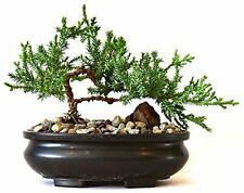 live Bonsai Tree - Juniper Tree Bonsai indoor decoration flowering House plant