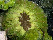 New listing Indo Neon Acantho -Wysiwyg Live Coral Frag- Coral Savers
