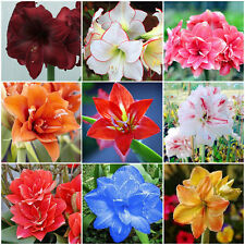 Hot 2Pcs Rare Amaryllis Bulbs Seeds Hippeastrum Flower Garden Bonsai Plant Decor
