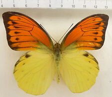 Hebomoia leucippe leucippe Männchen aus Ambon, Molukken, IND  n138