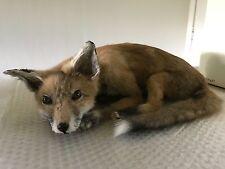 European Red Fox 2018 taxidermy new.